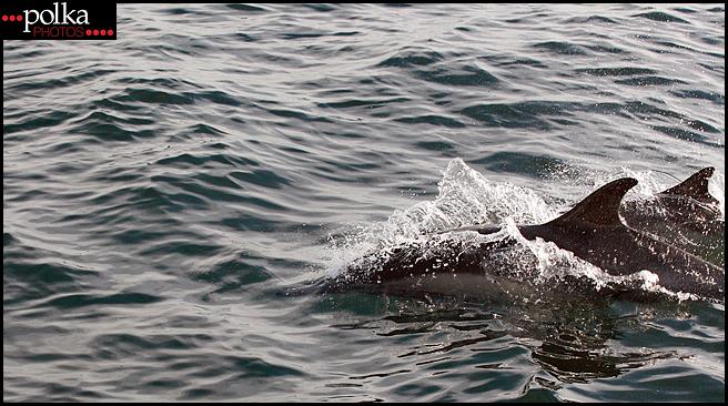 Balboa Island photography,dolphins