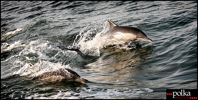 dolphin, dolphins, Newport Beach dolphins, nature photography, dolphin photography, dolphin photographer, Balboa Island photography