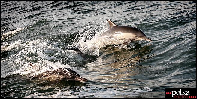 dolphin, dolphins, Newport Beach dolphins, nature photography, dolphin photography, dolphin photographer, Balboa Island photography