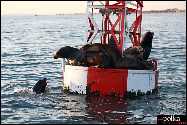 seals, sea lions, Los Angeles photographer, Balboa Island
